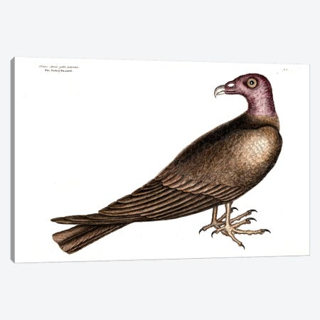 Turkey Buzzard Canvas Print #CAT168} by Mark Catesby Canvas Artwork