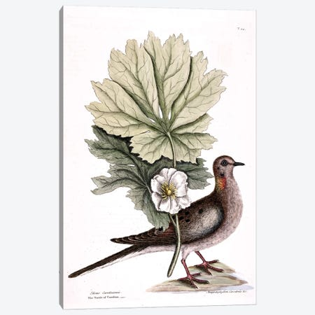 Turtle Dove Of Carolina & Mayapple Canvas Print #CAT169} by Mark Catesby Canvas Artwork