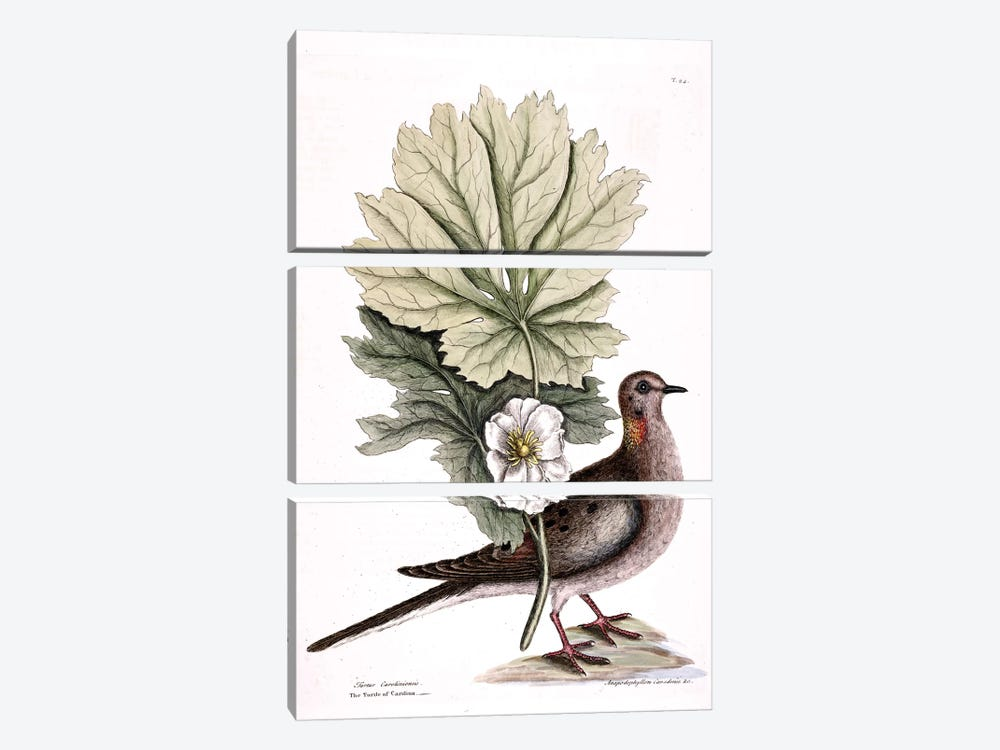Turtle Dove Of Carolina & Mayapple by Mark Catesby 3-piece Canvas Print