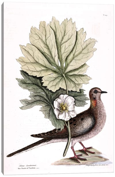 Turtle Dove Of Carolina & Mayapple Canvas Art Print