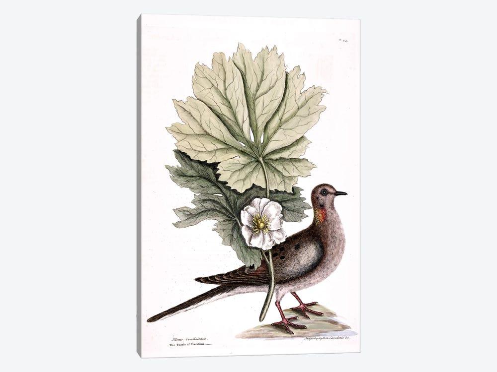Turtle Dove Of Carolina & Mayapple by Mark Catesby 1-piece Art Print