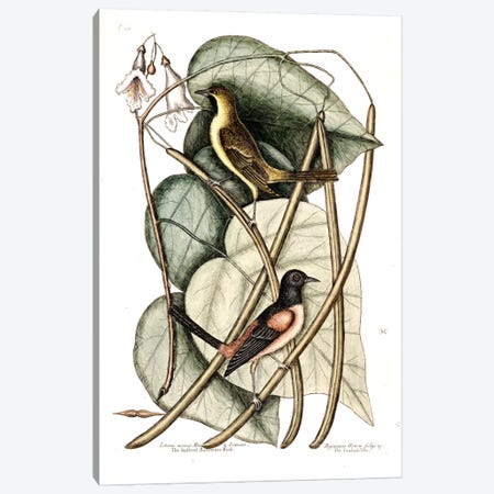 Bastard Baltimore & Catalpa Tree Canvas Print #CAT16} by Mark Catesby Canvas Artwork