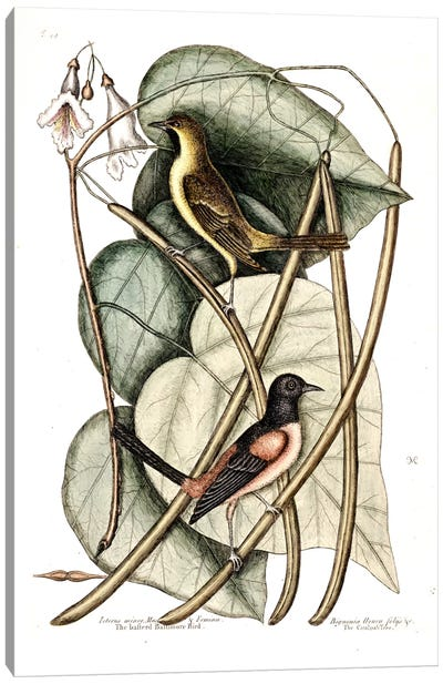 Bastard Baltimore & Catalpa Tree Canvas Art Print
