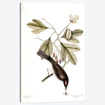 Tyrant & Sassafras Canvas Print #CAT170} by Mark Catesby Art Print