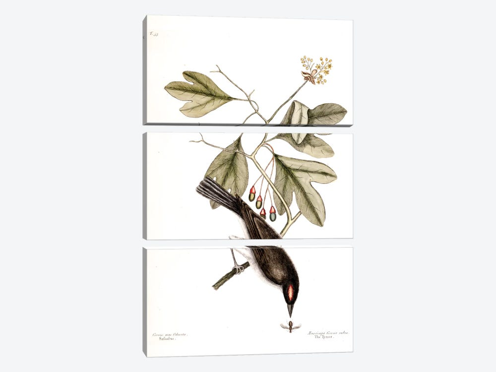 Tyrant & Sassafras by Mark Catesby 3-piece Art Print