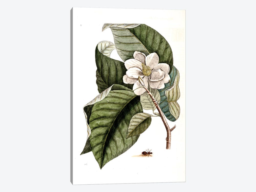 Velvet Ant & Magnolia Acuminata (Cucumber Tree) by Mark Catesby 1-piece Canvas Art