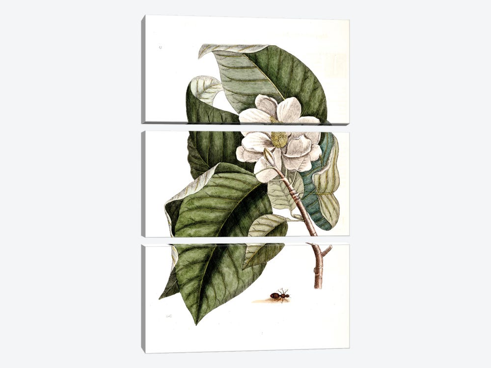 Velvet Ant & Magnolia Acuminata (Cucumber Tree) by Mark Catesby 3-piece Canvas Artwork