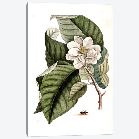 Velvet Ant & Magnolia Acuminata (Cucumber Tree) Canvas Print #CAT171} by Mark Catesby Art Print