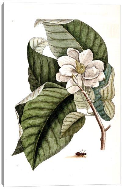 Velvet Ant & Magnolia Acuminata (Cucumber Tree) Canvas Art Print