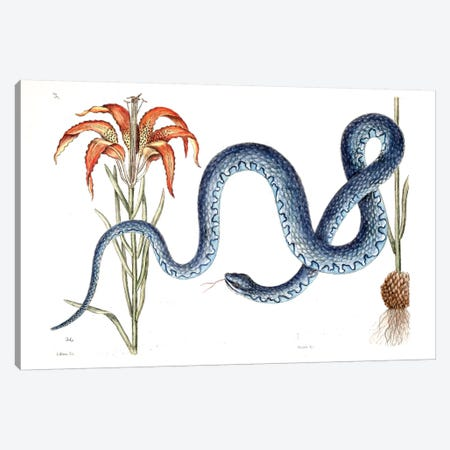 Wampum Snake & Red Lilly Canvas Print #CAT172} by Mark Catesby Canvas Art Print