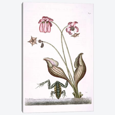 Water Frog & Sarracenia Canvas Print #CAT173} by Mark Catesby Art Print