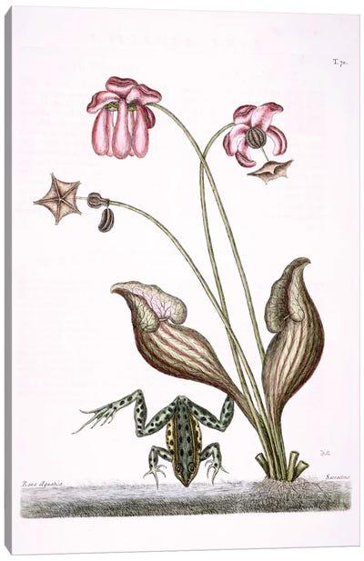 Water Frog & Sarracenia Canvas Art Print