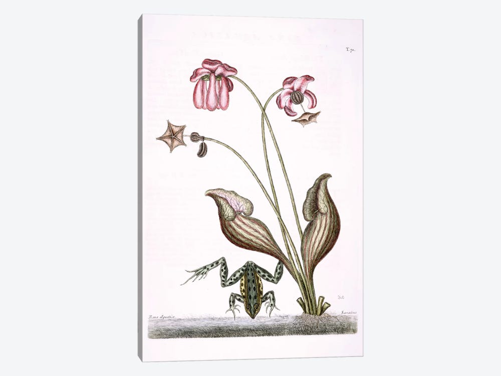 Water Frog & Sarracenia by Mark Catesby 1-piece Canvas Art