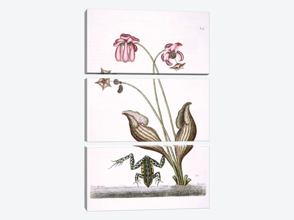 Water Frog & Sarracenia by Mark Catesby 3-piece Canvas Artwork