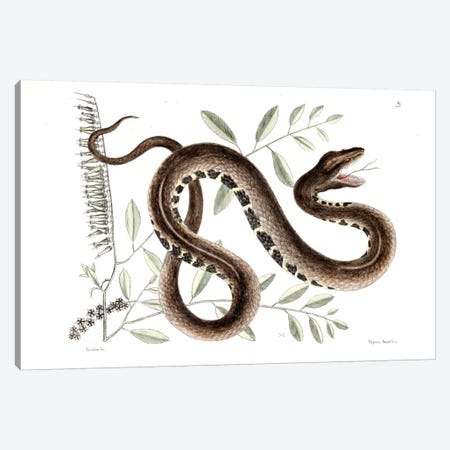 Water Viper & Andromeda Paniculata Canvas Print #CAT174} by Mark Catesby Canvas Art