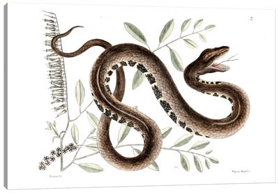 Catesby's Natural History Series: Water Viper & Andromeda Paniculata Canvas Print #CAT174