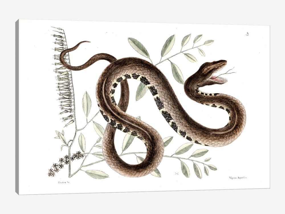 Water Viper & Andromeda Paniculata by Mark Catesby 1-piece Canvas Print