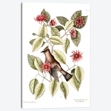 Waxwing Chatterer & Sweetshrub Canvas Print #CAT175} by Mark Catesby Canvas Art