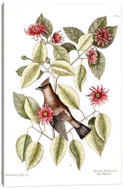 Waxwing Chatterer & Sweetshrub Canvas Art Print
