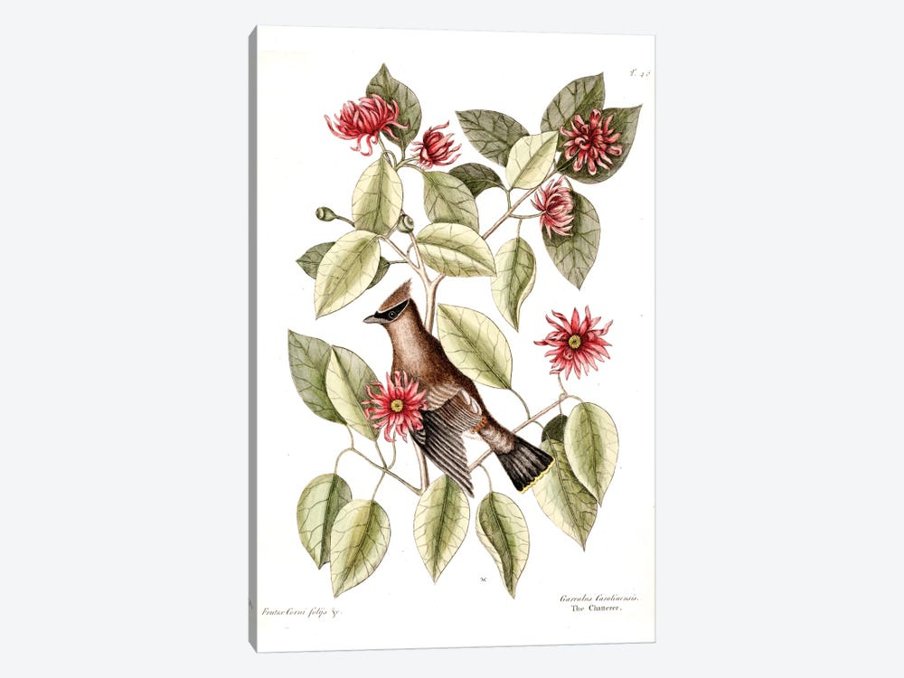 Waxwing Chatterer & Sweetshrub by Mark Catesby 1-piece Canvas Artwork