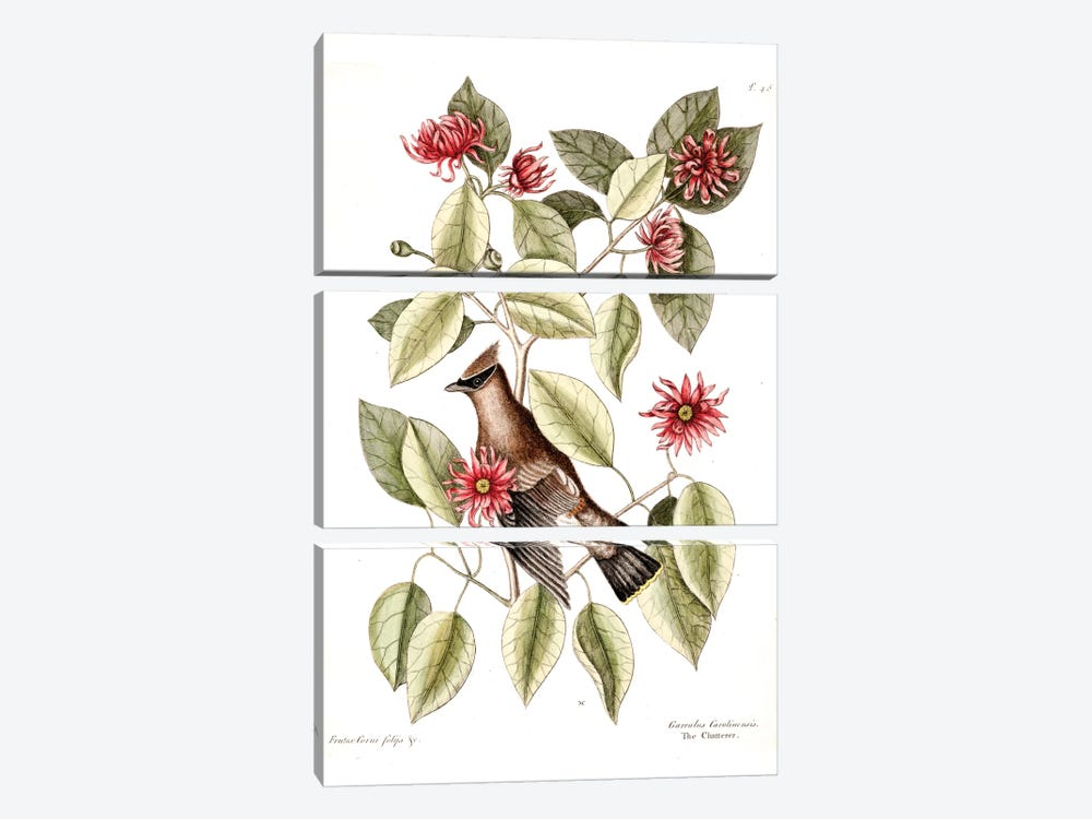 Waxwing Chatterer & Sweetshrub by Mark Catesby 3-piece Canvas Wall Art
