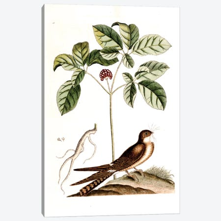 Whip-Poor-Will & American Ginseng Canvas Print #CAT176} by Mark Catesby Canvas Wall Art