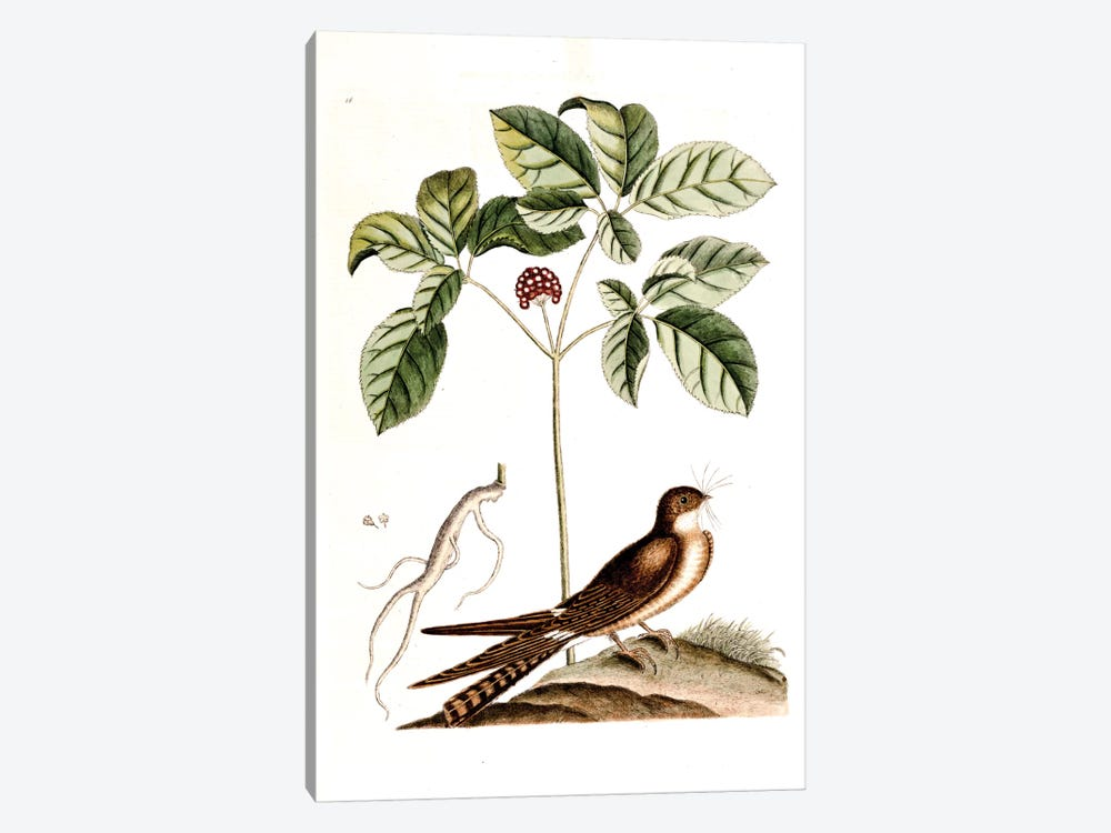 Whip-Poor-Will & American Ginseng by Mark Catesby 1-piece Canvas Print