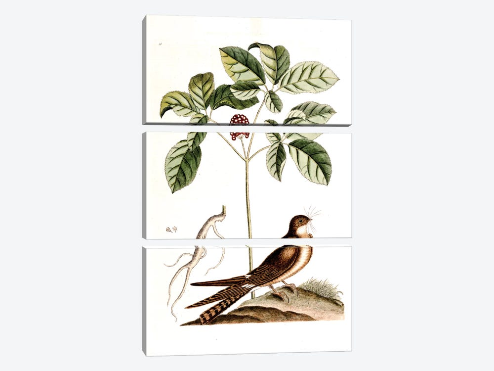 Whip-Poor-Will & American Ginseng by Mark Catesby 3-piece Canvas Art Print