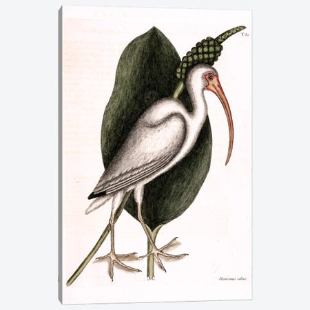 White Curlew (American White Ibis) & Orontium Aquaticum (Golden-Club) Canvas Print #CAT177} by Mark Catesby Canvas Wall Art