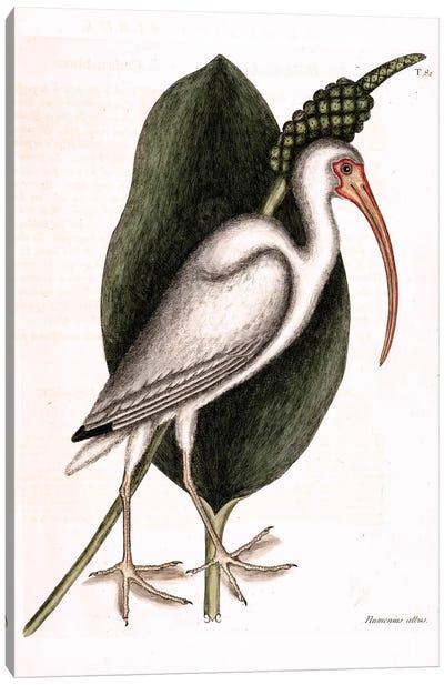 Catesby's Natural History Series: White Curlew (American White Ibis) & Orontium Aquaticum (Golden-Club) Canvas Print #CAT177
