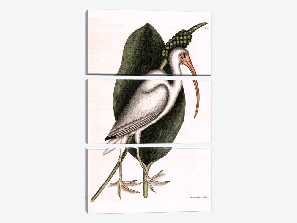 White Curlew (American White Ibis) & Orontium Aquaticum (Golden-Club) by Mark Catesby 3-piece Canvas Art