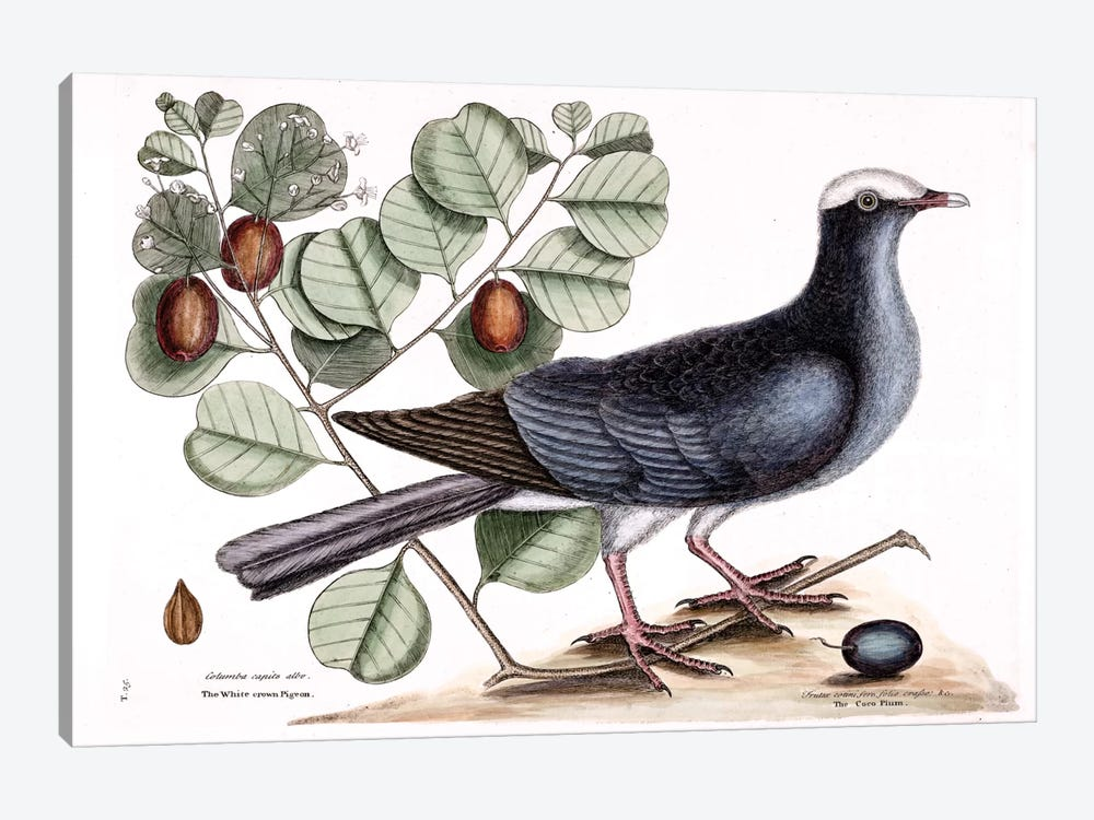 White-Crowned Pigeon & Cocoa Plum by Mark Catesby 1-piece Canvas Print