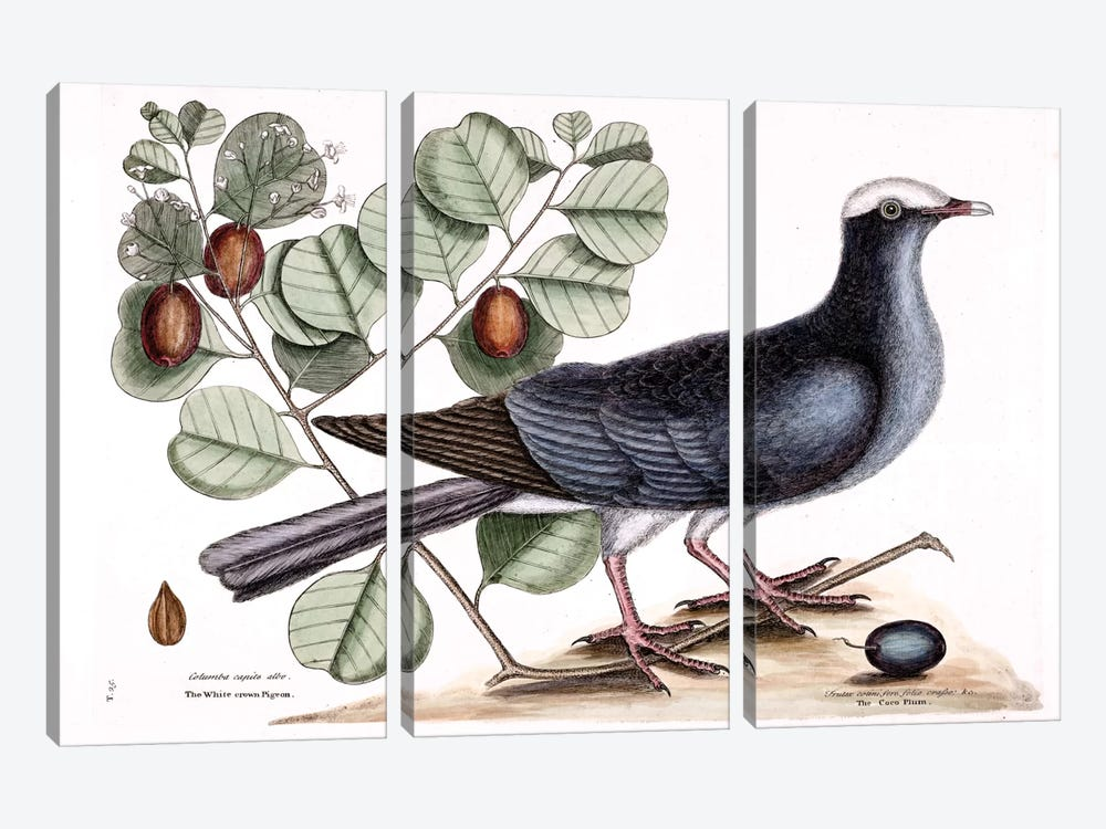 White-Crowned Pigeon & Cocoa Plum by Mark Catesby 3-piece Canvas Print