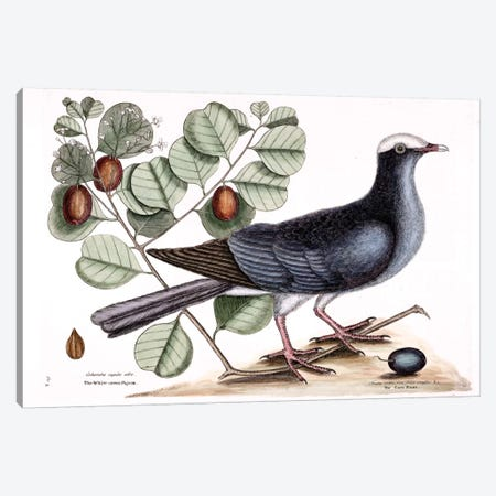 White-Crowned Pigeon & Cocoa Plum Canvas Print #CAT178} by Mark Catesby Canvas Print