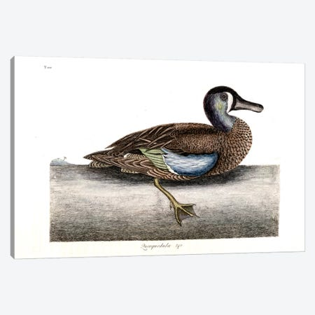 White-Faced Teal Canvas Print #CAT179} by Mark Catesby Canvas Print