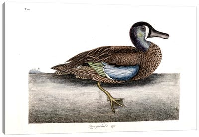 Catesby's Natural History Series: White-Faced Teal Canvas Print #CAT179