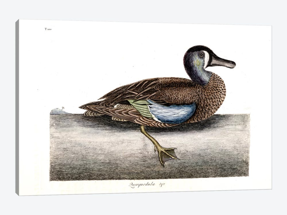 White-Faced Teal by Mark Catesby 1-piece Canvas Wall Art