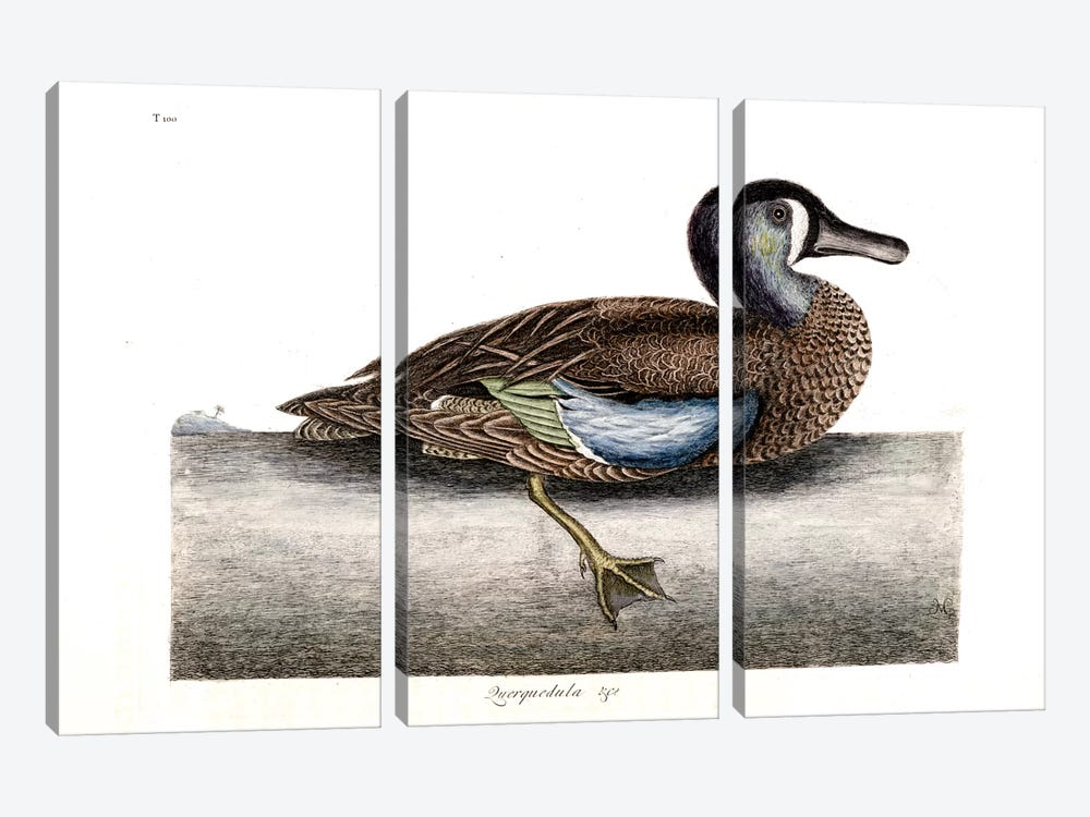 White-Faced Teal by Mark Catesby 3-piece Canvas Wall Art