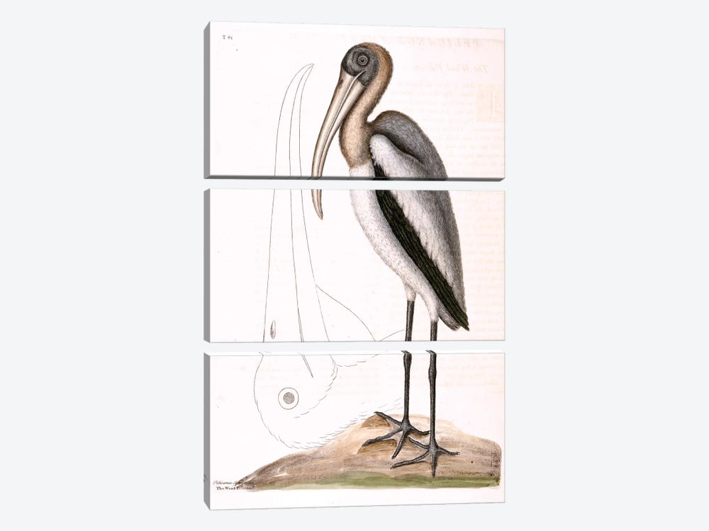 Wood Pelican by Mark Catesby 3-piece Canvas Artwork