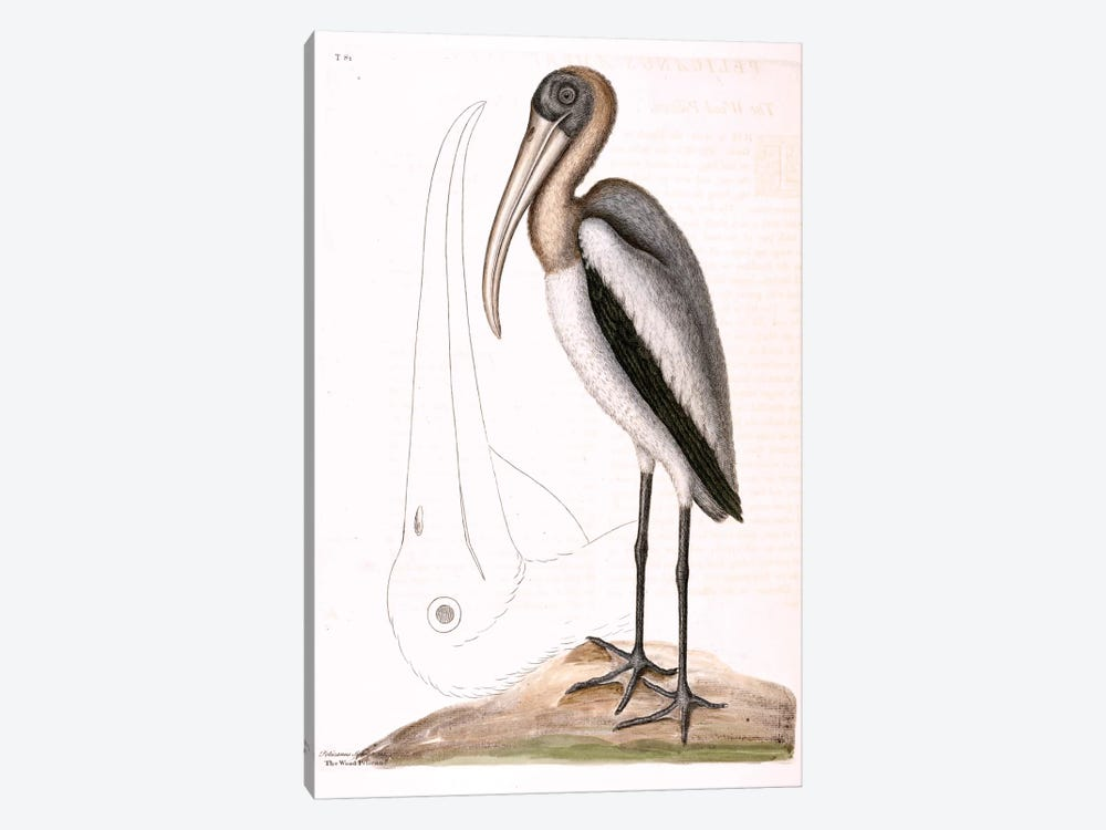 Wood Pelican by Mark Catesby 1-piece Canvas Art