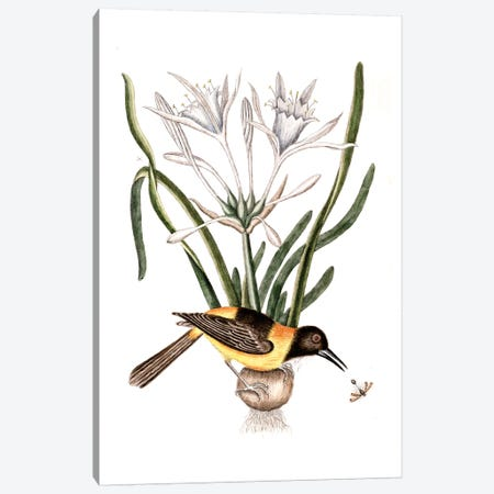 Yellow & Black Pye (Venezuelan Troupial), Carolina Spiderlily & Sphex Coerulea (Digger Wasp) Canvas Print #CAT181} by Mark Catesby Canvas Wall Art