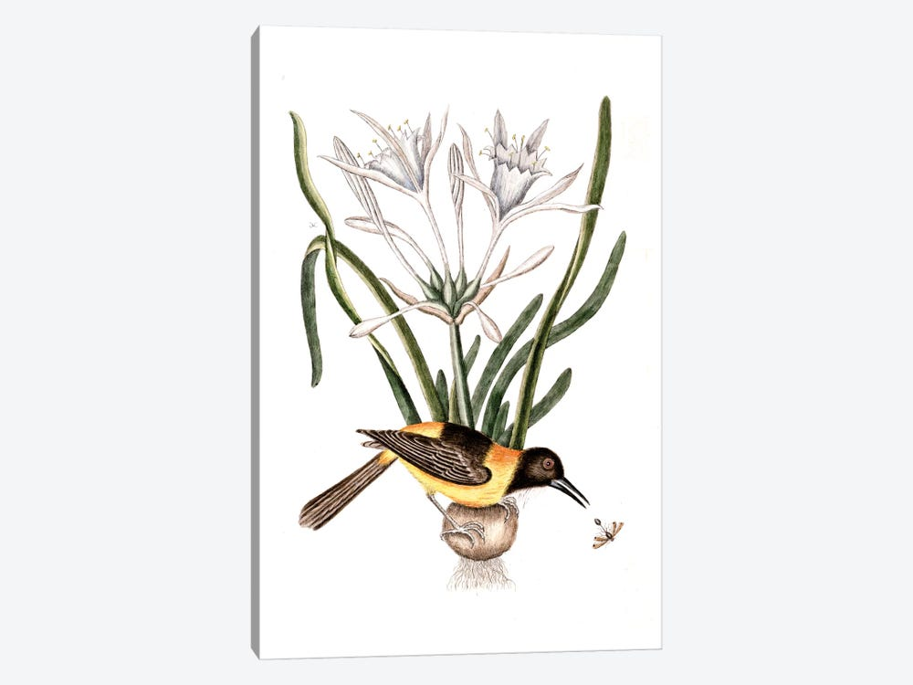 Yellow & Black Pye (Venezuelan Troupial), Carolina Spiderlily & Sphex Coerulea (Digger Wasp) by Mark Catesby 1-piece Canvas Print