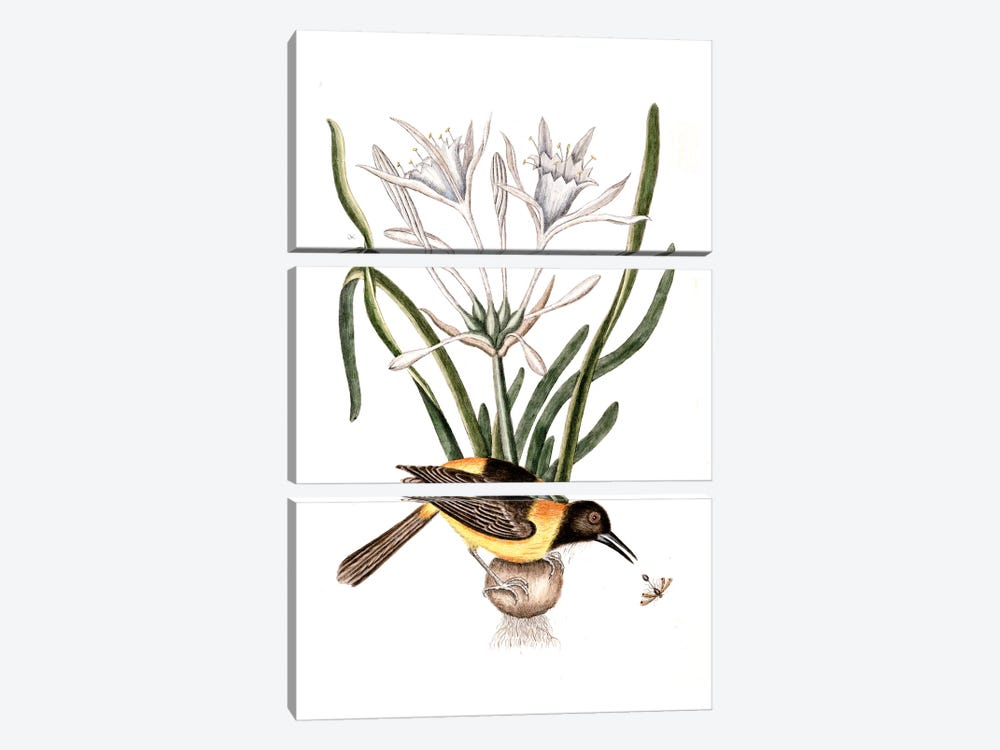 Yellow & Black Pye (Venezuelan Troupial), Carolina Spiderlily & Sphex Coerulea (Digger Wasp) by Mark Catesby 3-piece Canvas Print