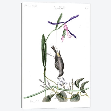 Yellow Rump, Liilly-Leaved Hellebore & Dog's Bane Canvas Print #CAT182} by Mark Catesby Canvas Artwork