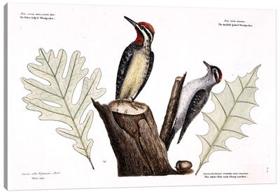 Catesby's Natural History Series: Yellow-Bellied Woodpecker, Lesser Spotted Woodpecker & Oak Leaves Canvas Print #CAT184