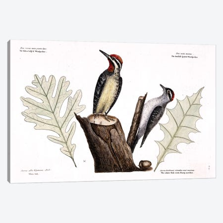 Yellow-Bellied Woodpecker, Lesser Spotted Woodpecker & Oak Leaves Canvas Print #CAT184} by Mark Catesby Canvas Print