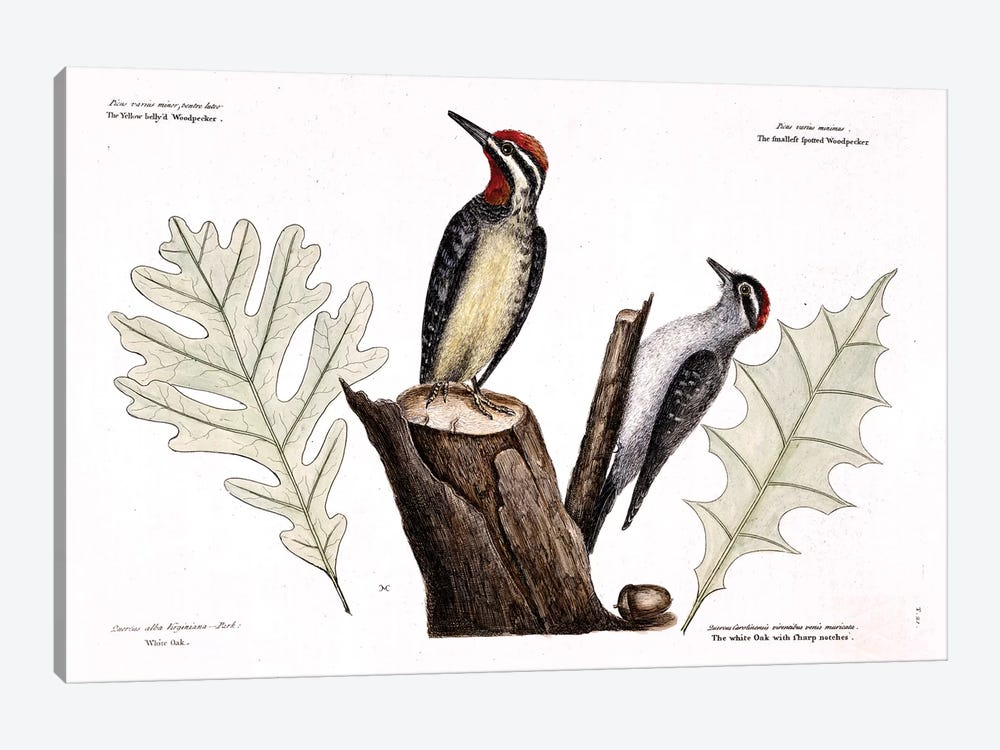 Yellow-Bellied Woodpecker, Lesser Spotted Woodpecker & Oak Leaves by Mark Catesby 1-piece Canvas Artwork