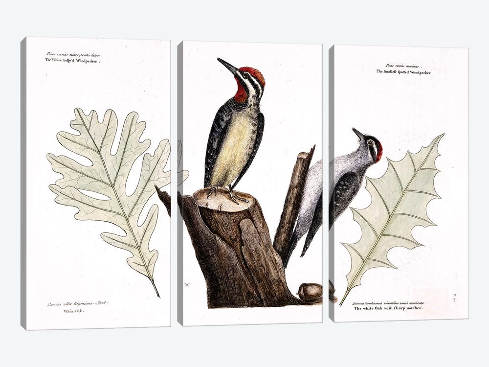 Yellow-Bellied Woodpecker, Lesser Spotted Woodpecker & Oak Leaves by Mark Catesby 3-piece Canvas Artwork