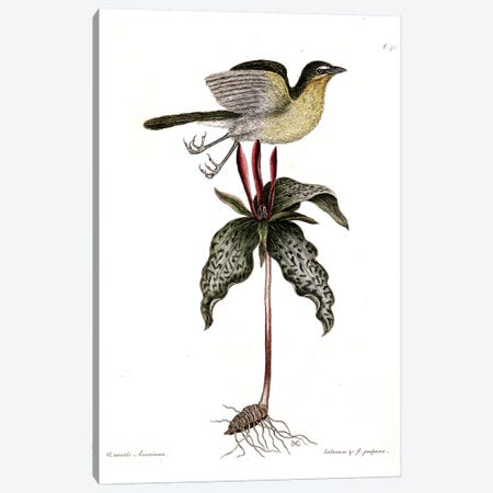 Yellow-Breasted Chat & Toadshade Canvas Print #CAT185} by Mark Catesby Canvas Art Print