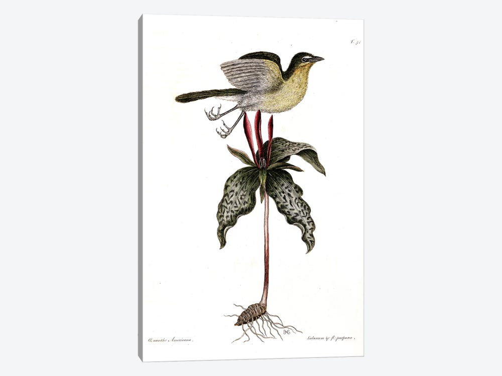 Yellow-Breasted Chat & Toadshade by Mark Catesby 1-piece Canvas Art Print